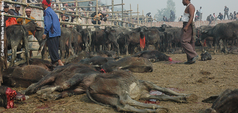 Help End Nepal Animal Massacre
