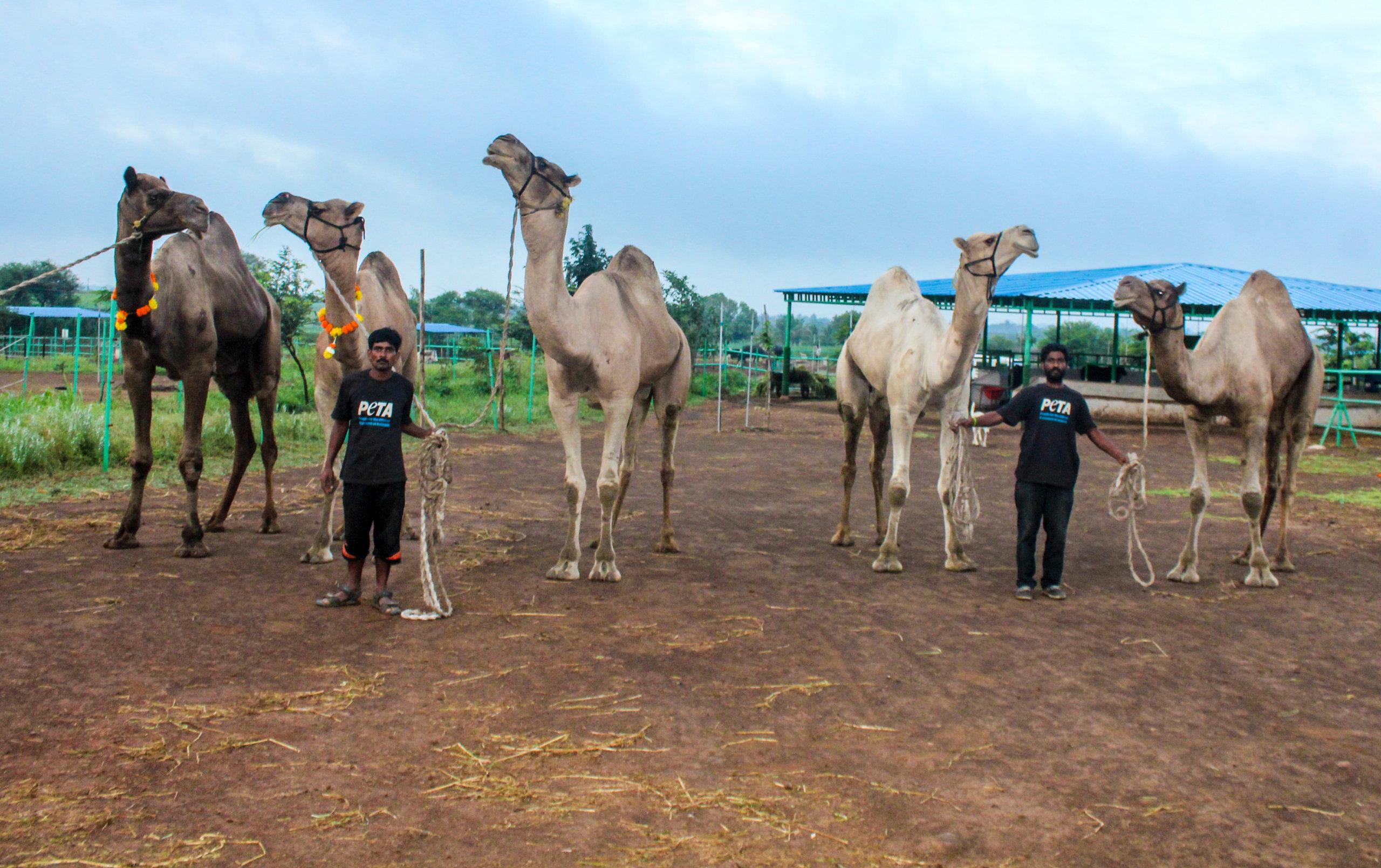 rescued camels from Varanasi