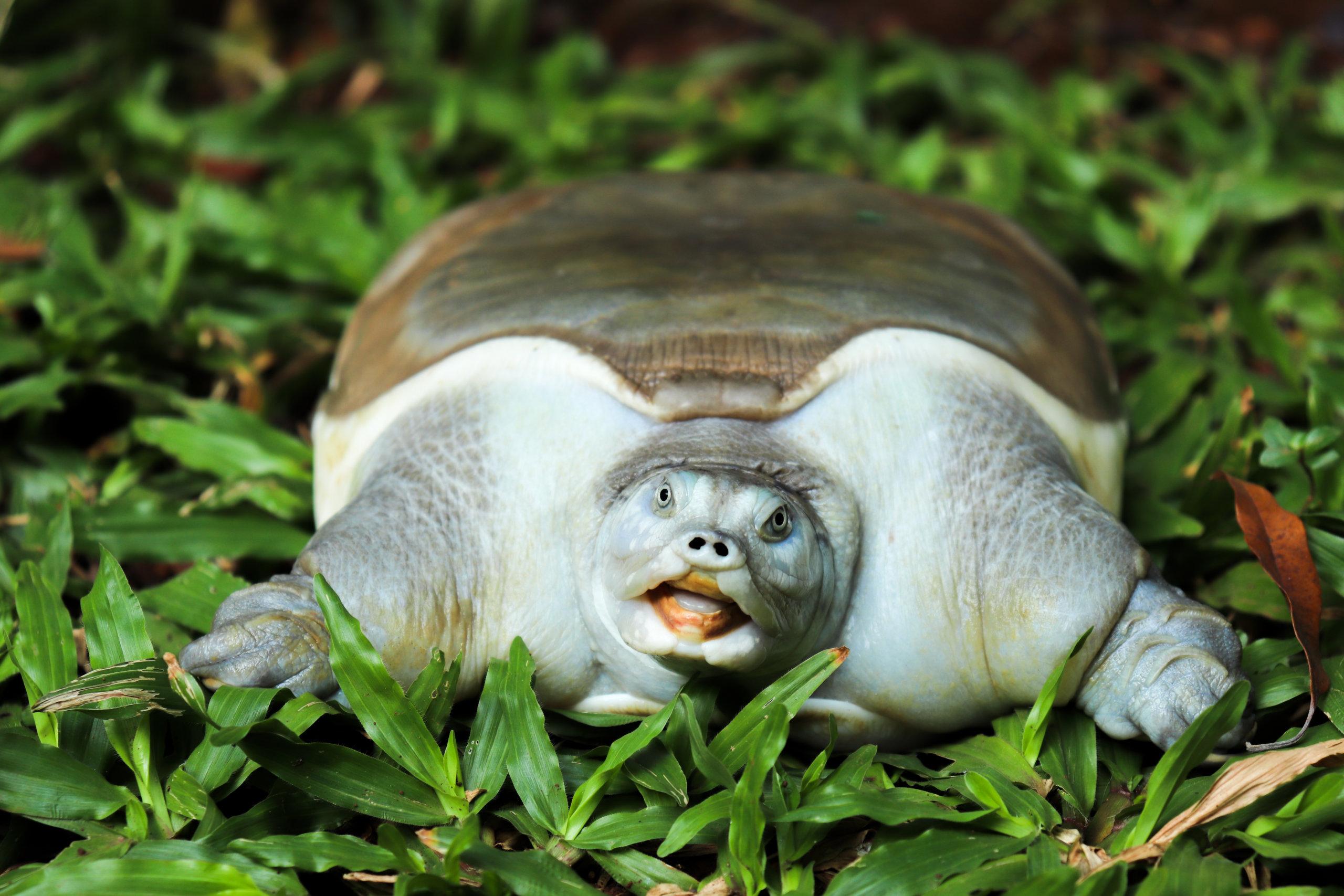 Softshell turtle