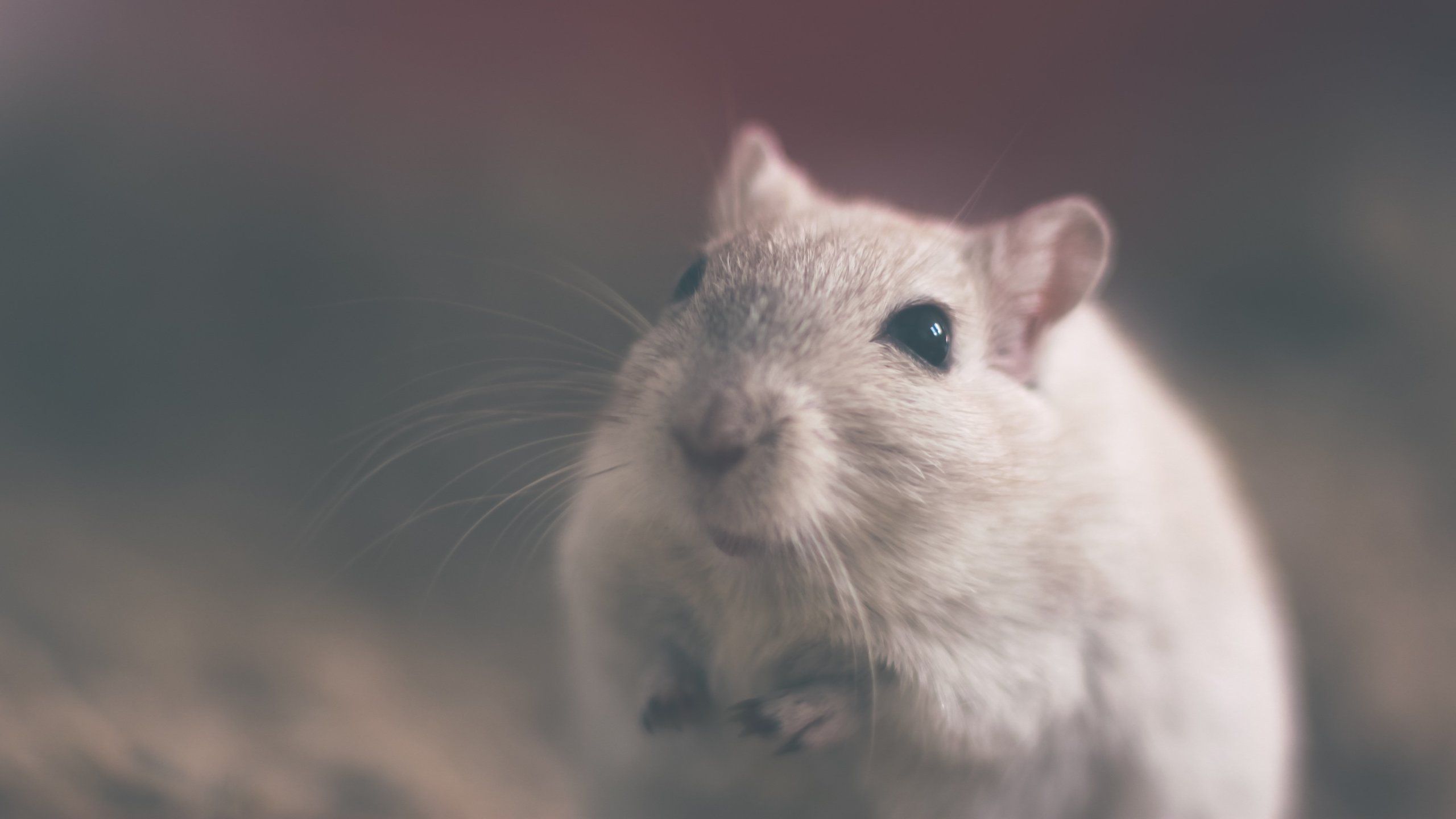 rats free from experiments