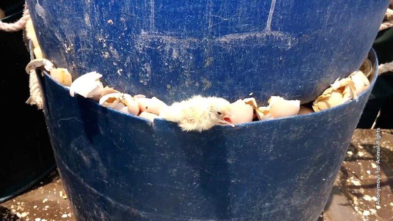 illegal killing of chicks-02