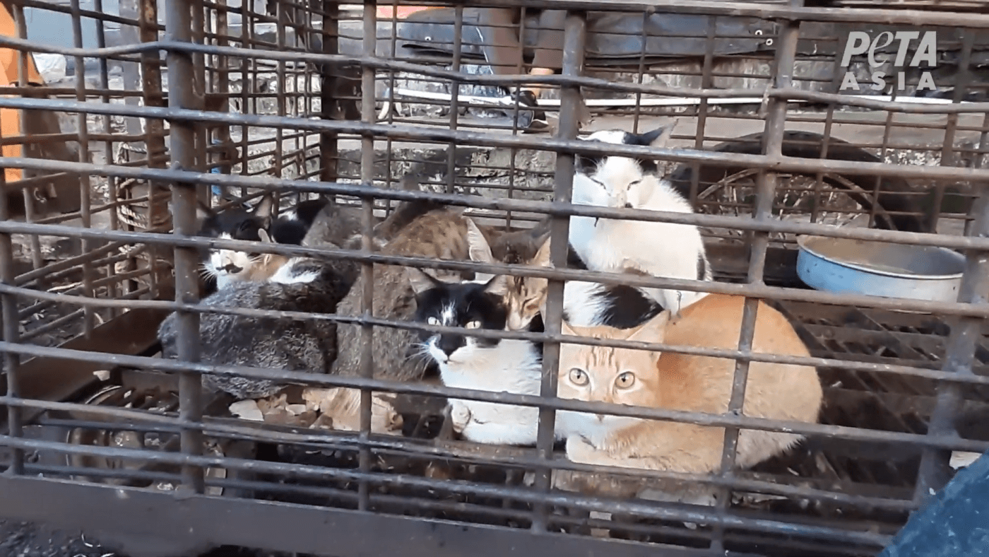 scared-cats-in-filthy-cage-wet-markets