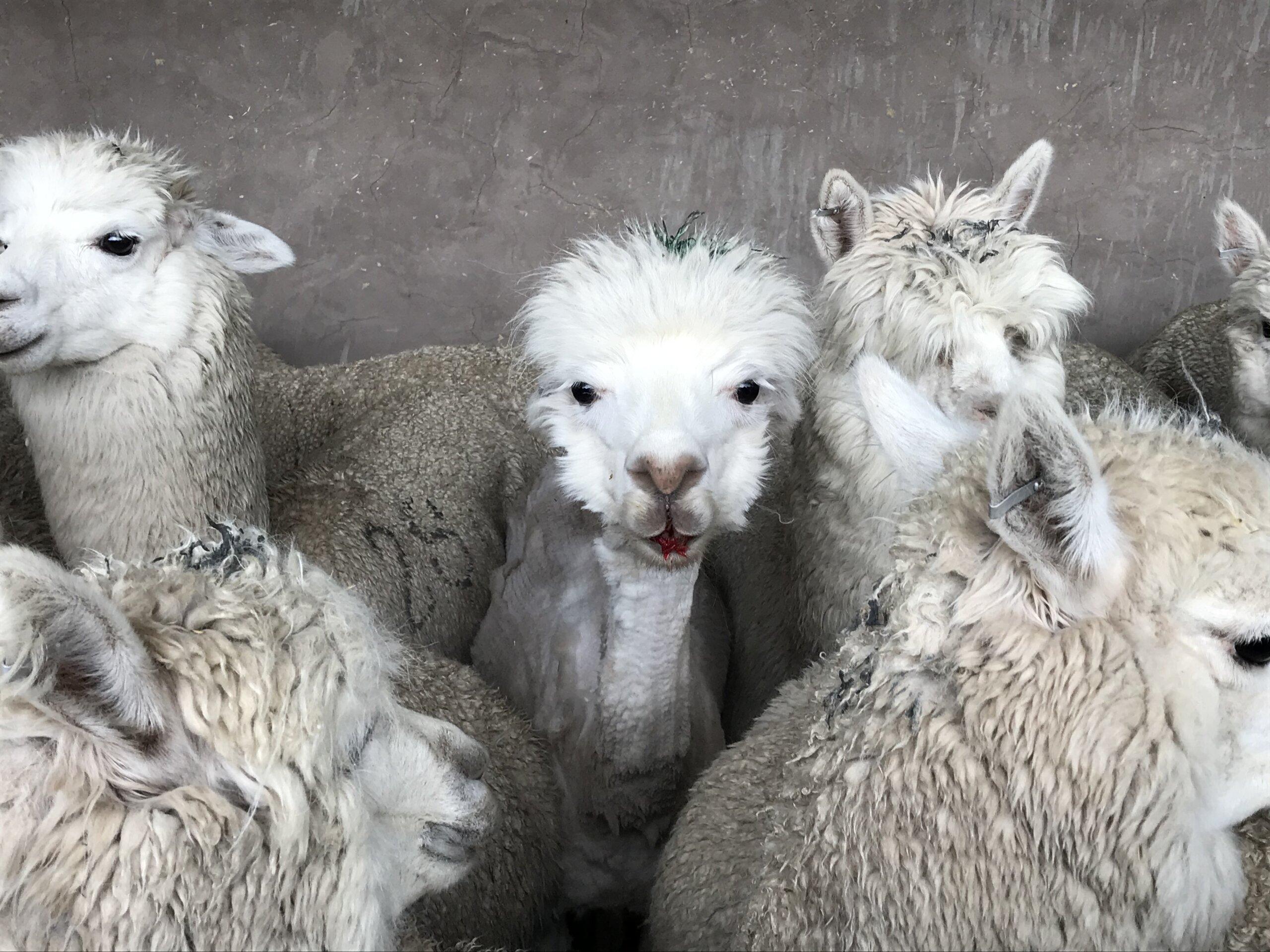 Alpaca PETA US investigation Photos