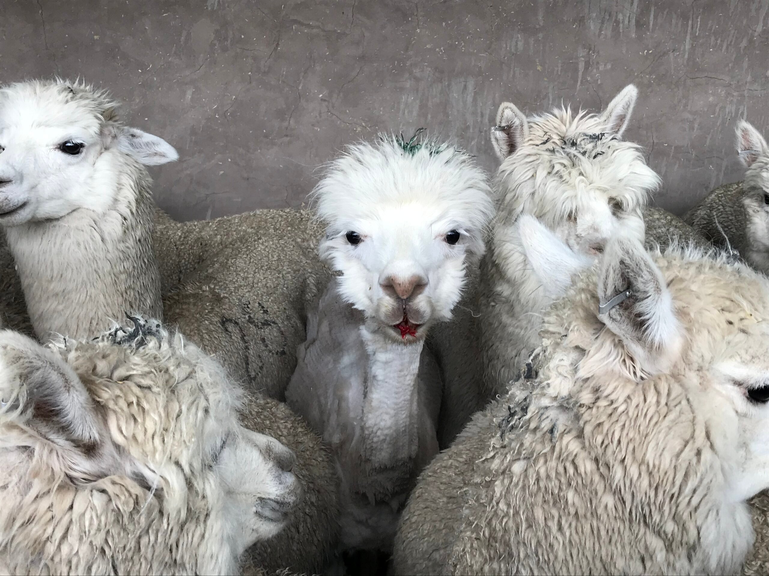 Video: Crying, Vomiting Alpacas Tied and Cut Up for Wool – Help Them!