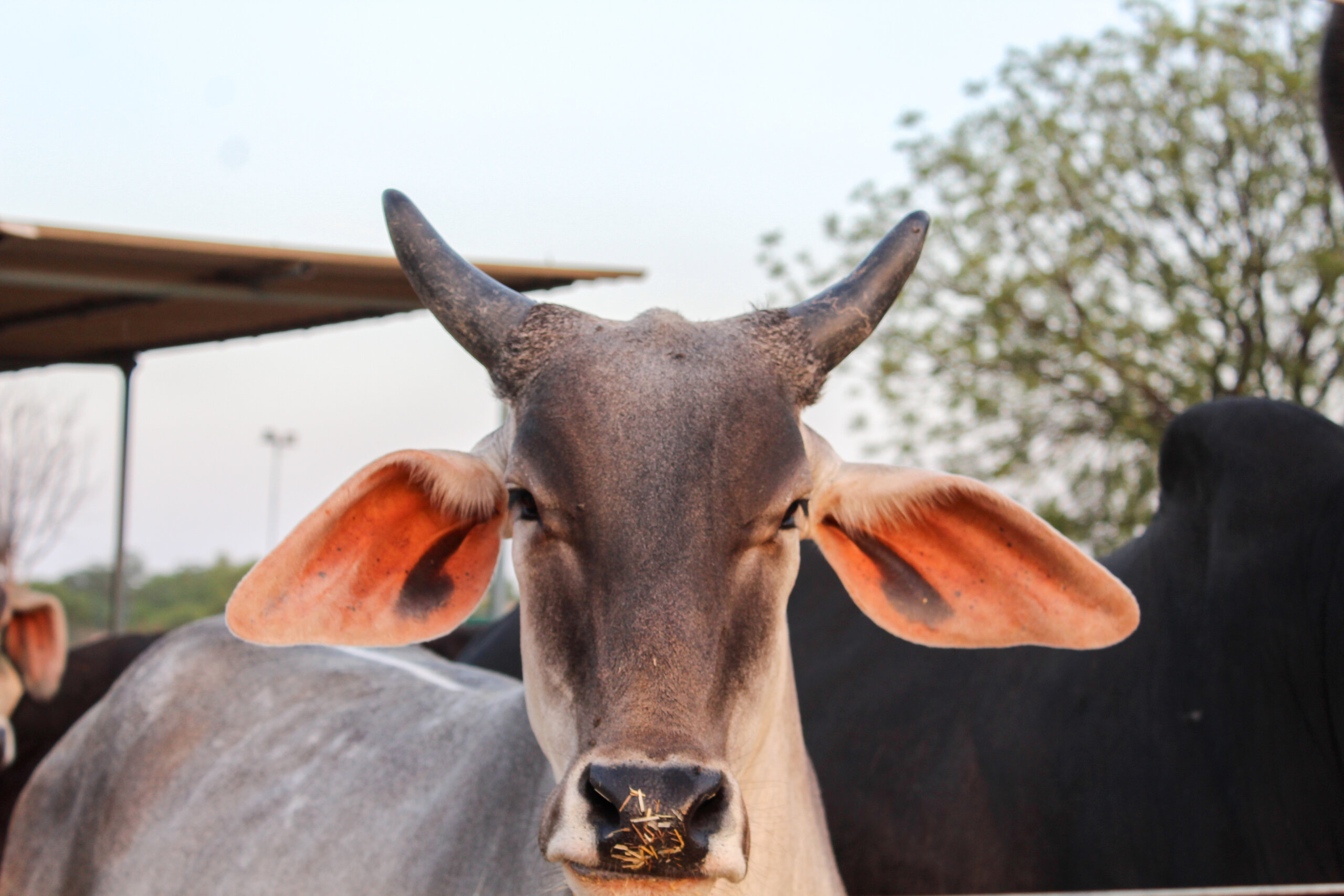 Cow photo shot by Juhi for pregnant cow case