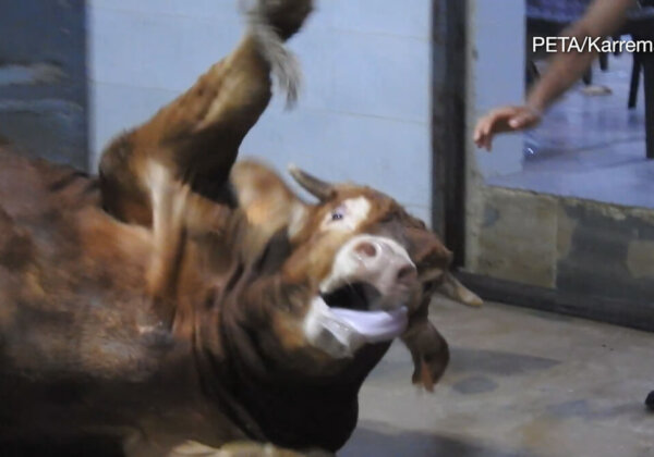 PETA Germany Exposes Gruelling, Shocking Abuse in Global Leather Trade