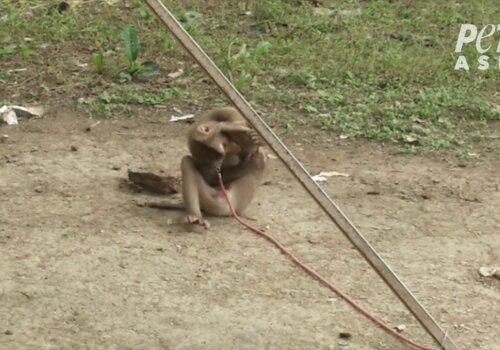 PETA Asia Thai Coconut Investigation Photos (3)