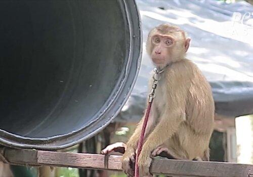 PETA Asia Thai Coconut Investigation Photos (5)