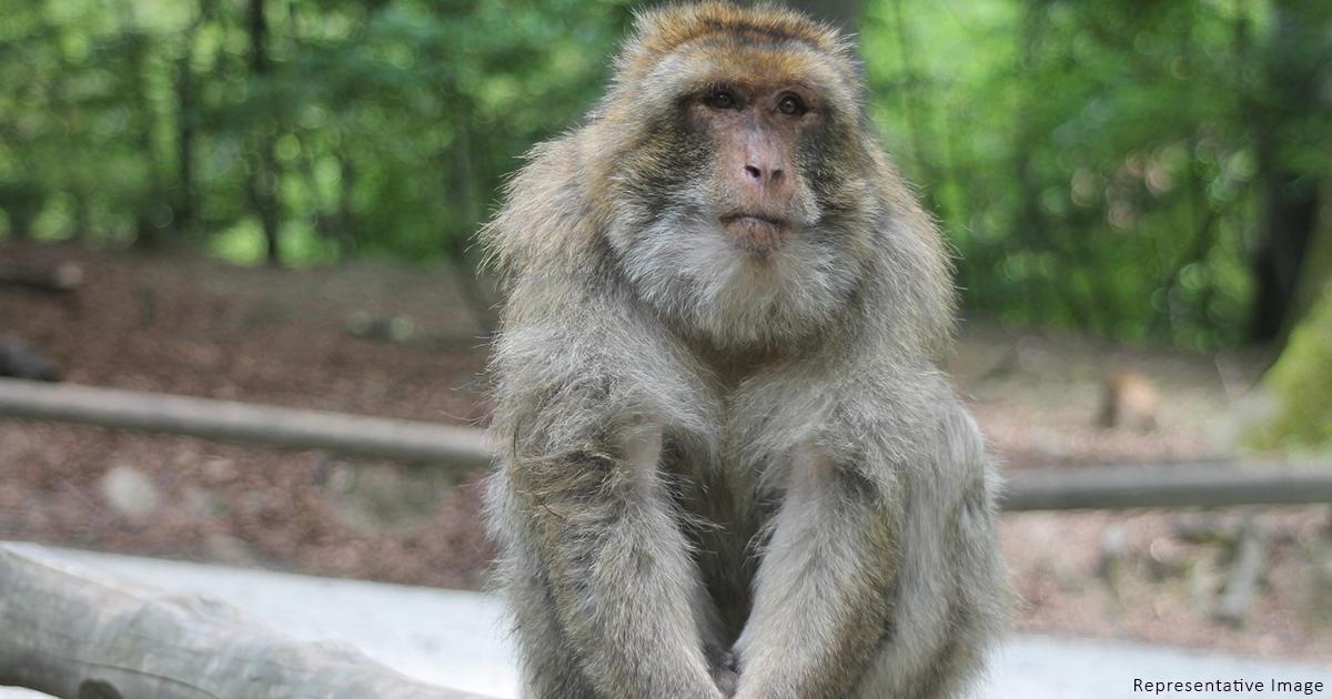 monkey chandigarh - tattoo artist