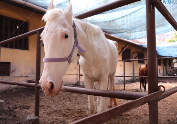 PETA India Wins Interim Custody of Horse Abused for Ceremonial Purposes in Mumbai