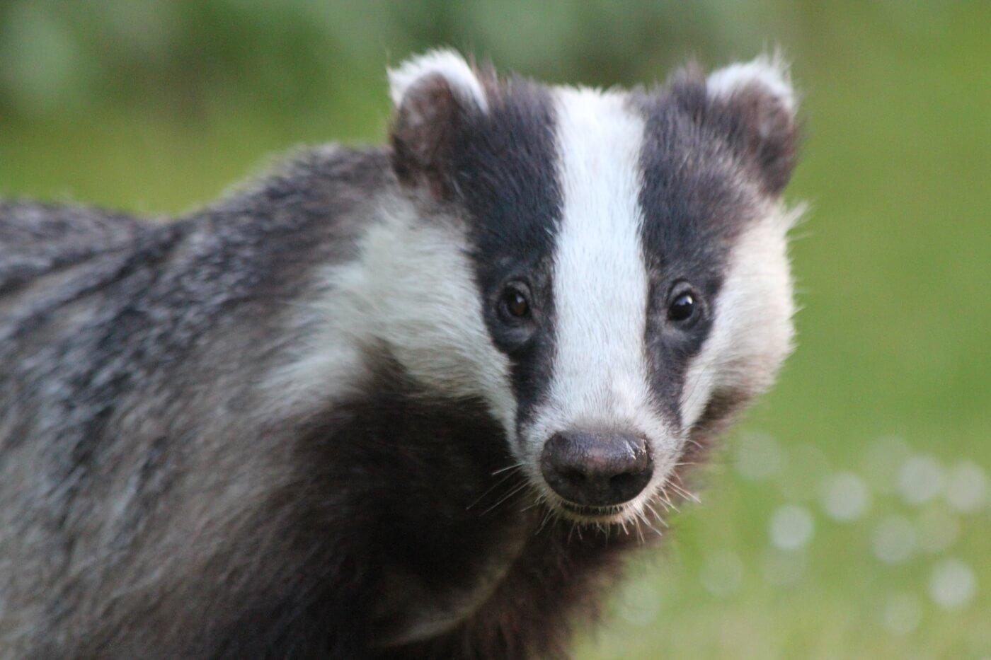 badger photo for loreal badger brush ban victory blog