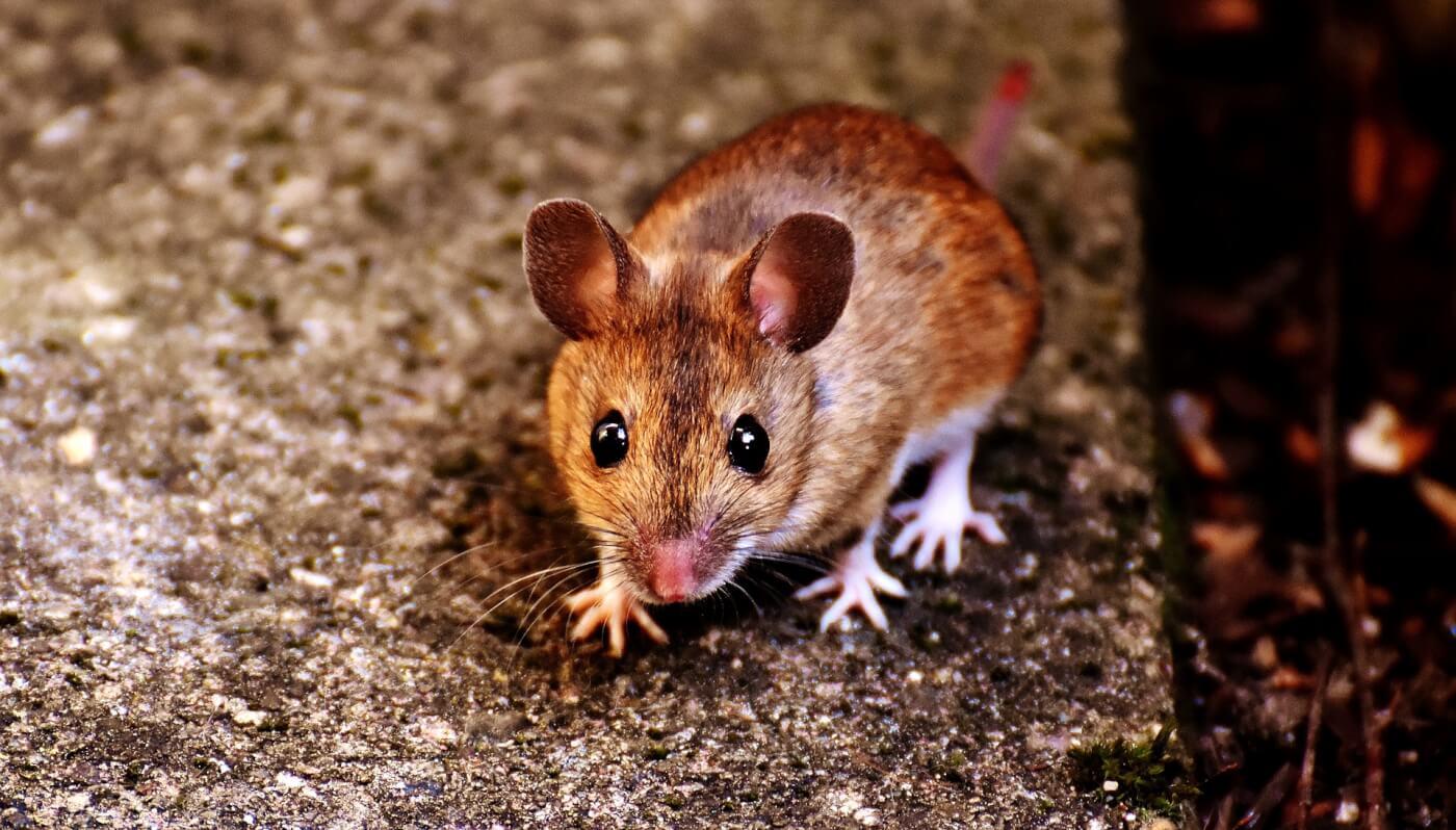 mice pharmacopoeia