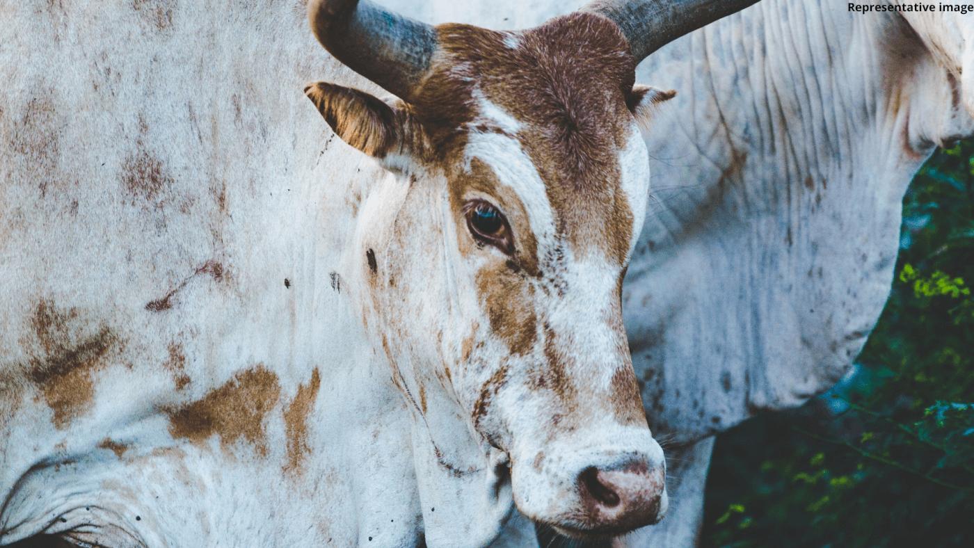 cow shot dead