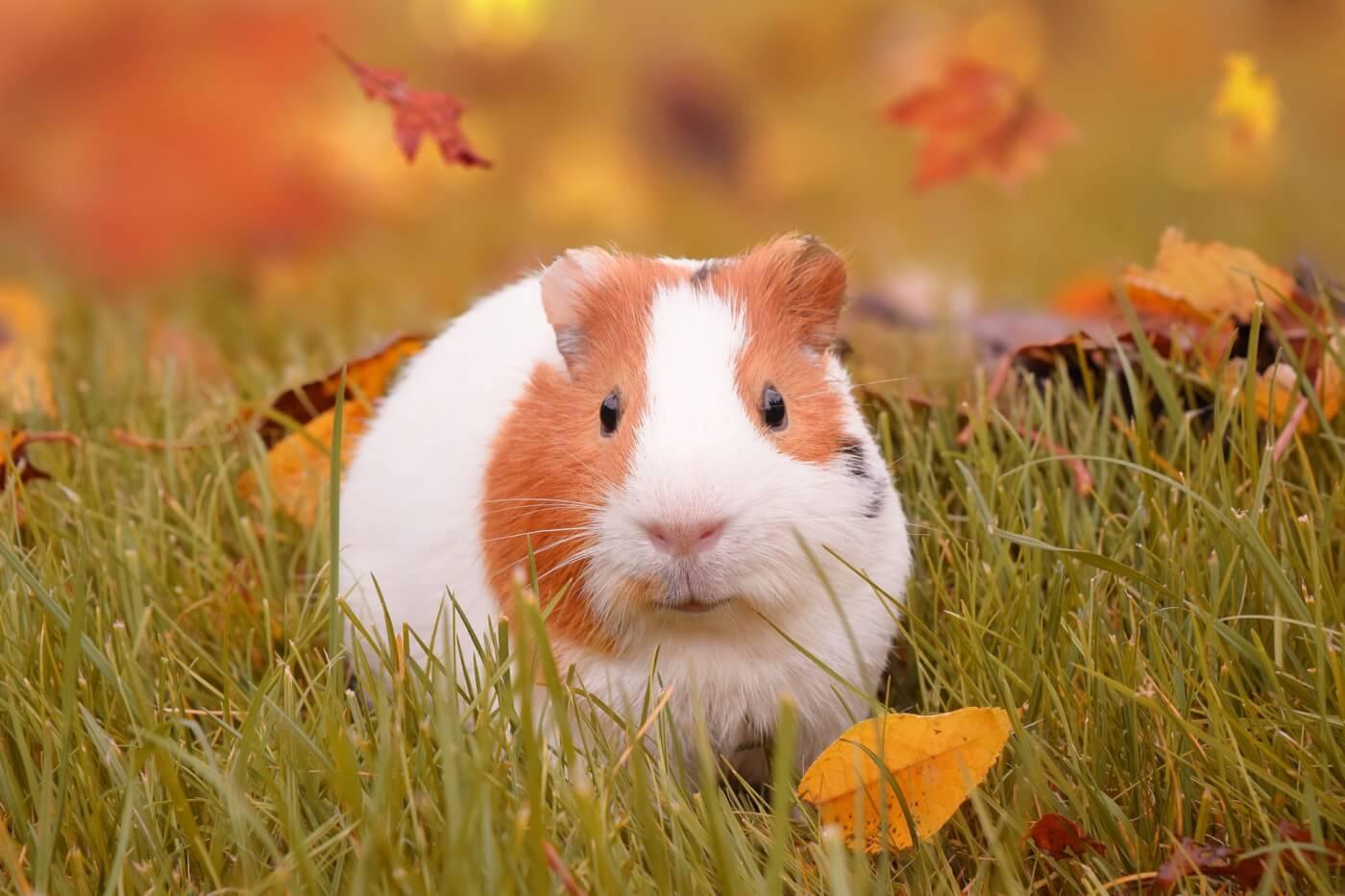 guinea pig bureau of Indian standards
