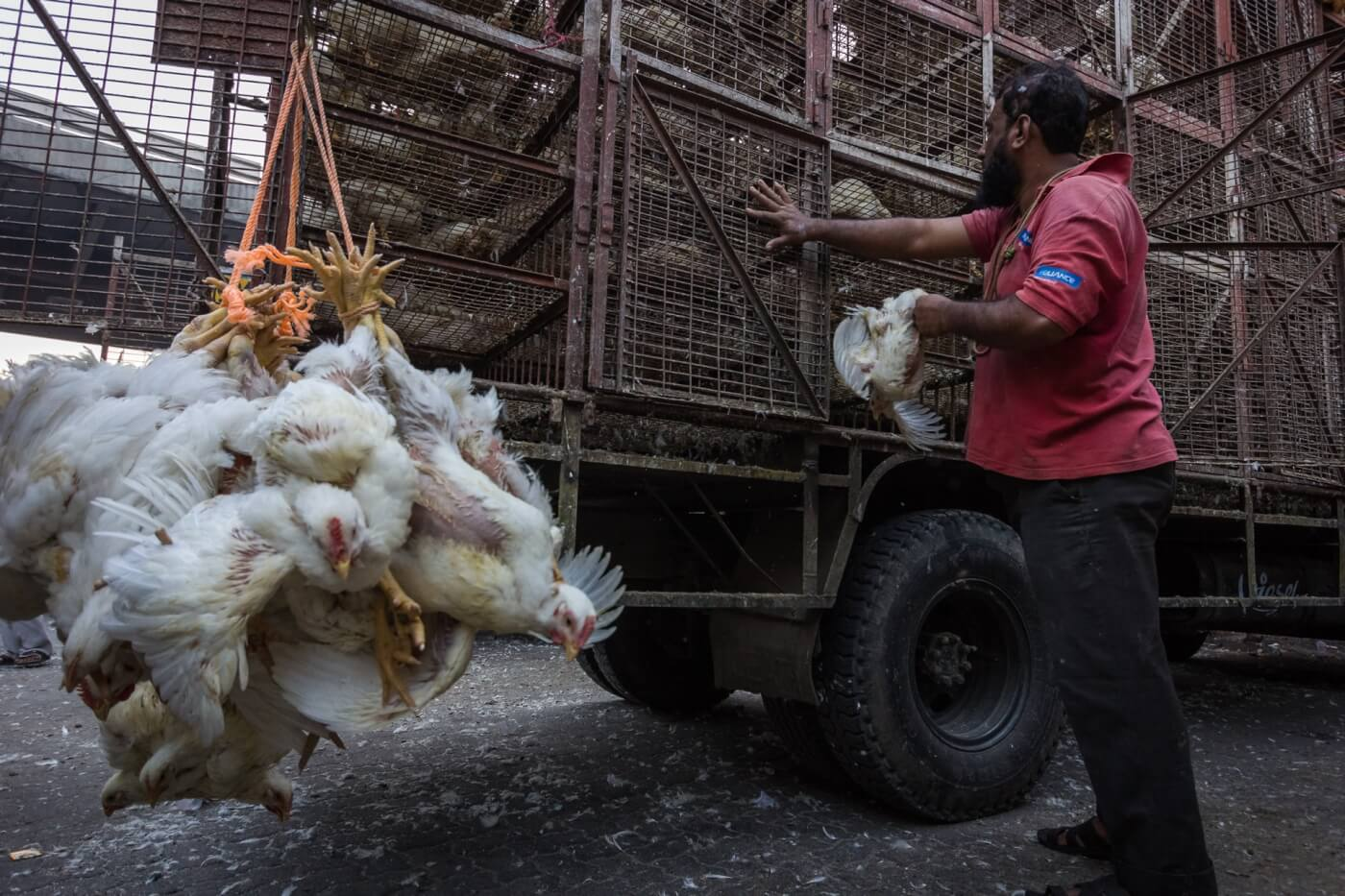 chickens held upside down to be transported to trucks