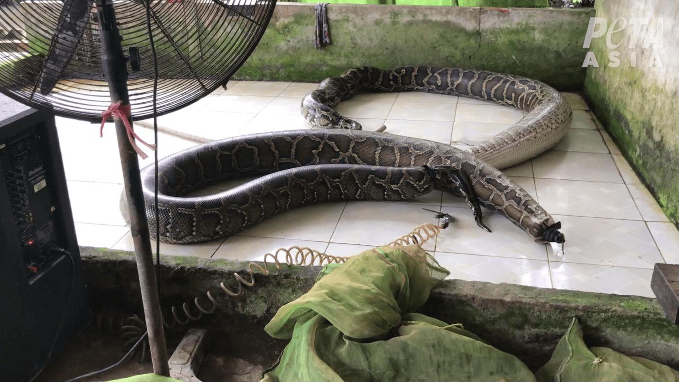 PETA Asia Exposes Gruesome, Shocking Abuse in Global Snakeskin Trade