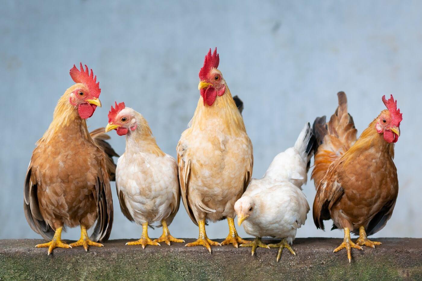 hens photo