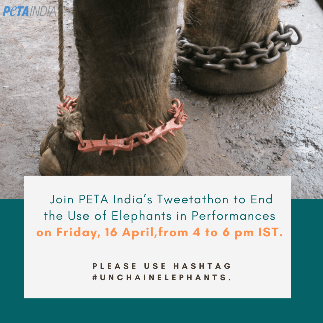 On Save the Elephants Day, Join PETA India's Tweetathon To End The Use of Elephants In Performances. (1)