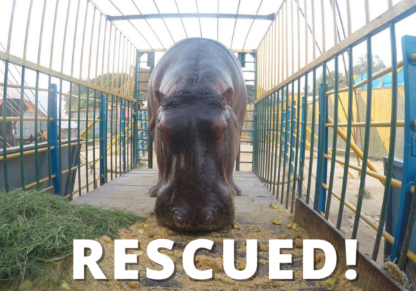 Delhi High Court Rules on PETA India's Petition, Approves Home for Hippopotamus Rescued From Asiad Circus