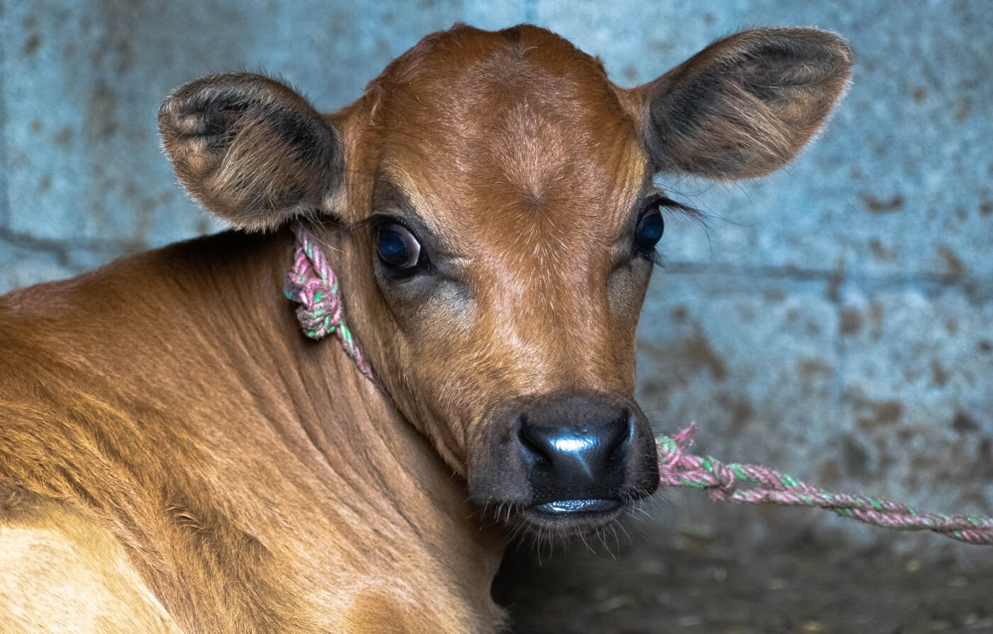 PETA India Urges Drugs Controller to Replace Newborn Calf Serum With Available Animal-Free Media For Vaccine Production
