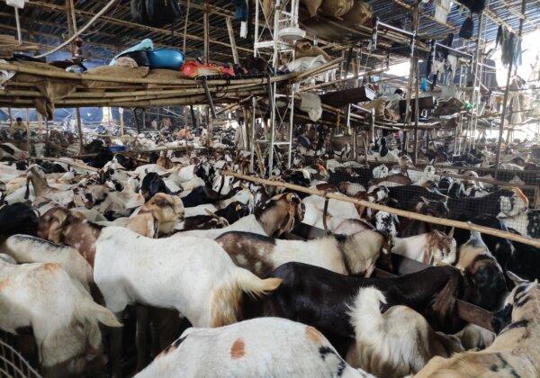 Illegal Goat Markets Mushroom All Over Mumbai Prior to Eid al-Adha, PETA India Investigation Reveals