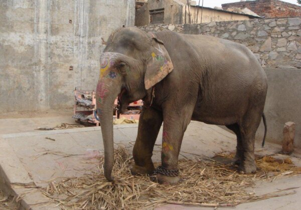 Photos: Chained and Beaten Elephants Need Your Help