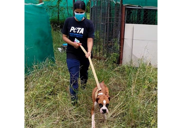 Starved Pedigree Dogs Reduced to Skin and Bones Seized by Thane Rural Police Following PETA India Complaint
