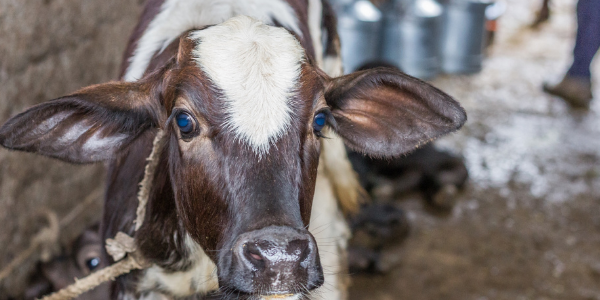 dairy videos - blog featured image