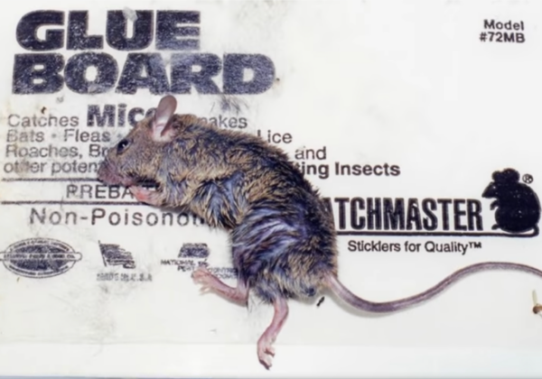 Telangana Prohibits the Manufacture, Sale, and Use of Vile and Illegal Glue Traps Following PETA India Appeal