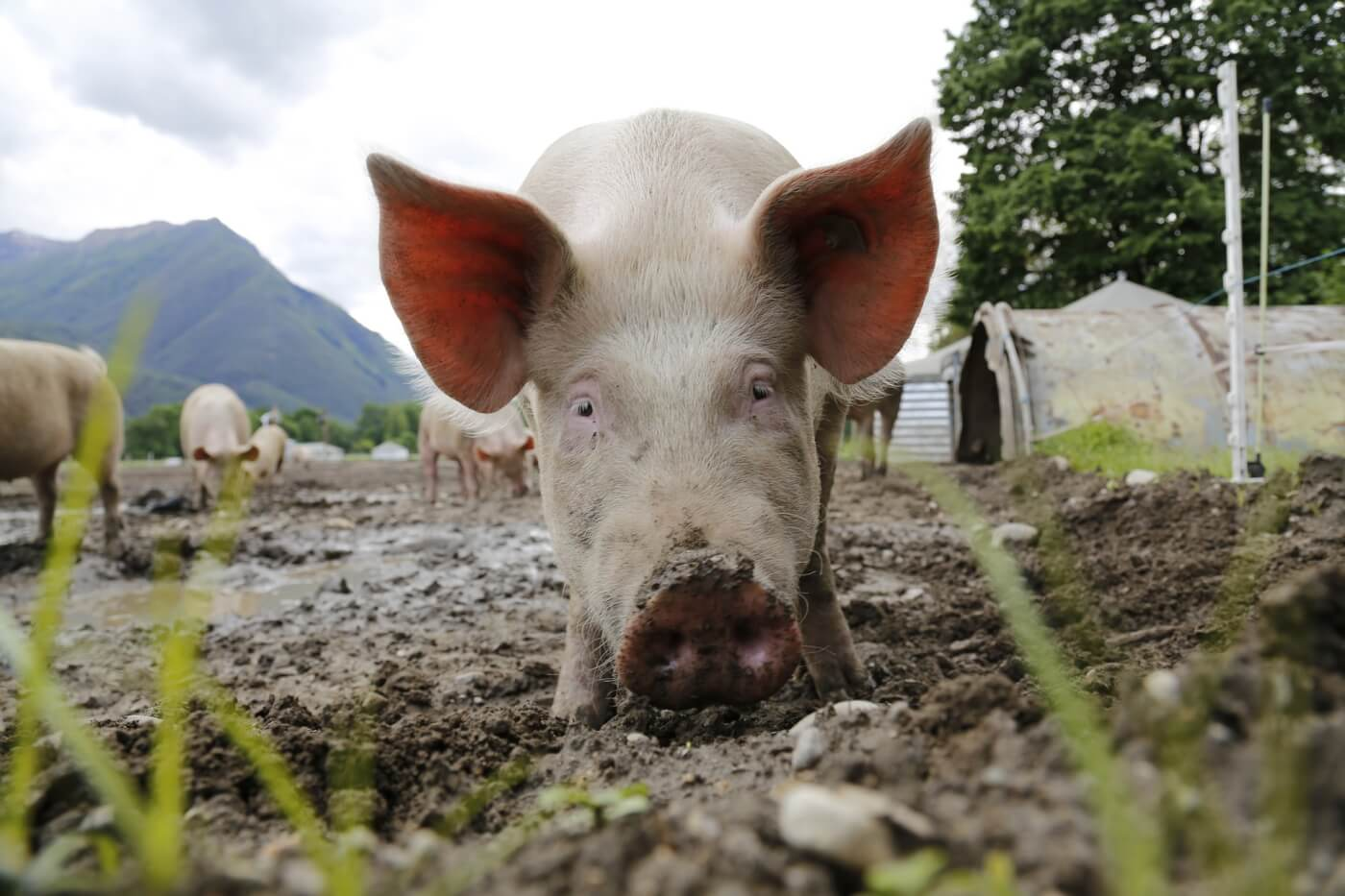 Karnataka Prohibits Cruel Crates Used to Confine Mother Pigs Following PETA India Appeal