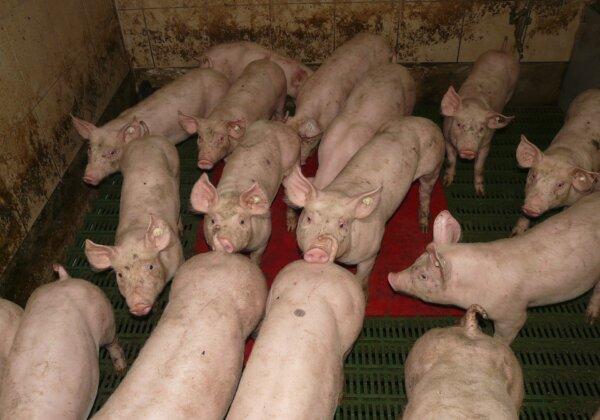 PETA India Urges Kerala to Shut Down Pig Farms to Prevent a Nipah Pandemic